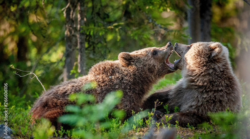 Fényképezés  The Cubs of Brown bears playfully fighting, The summer forest