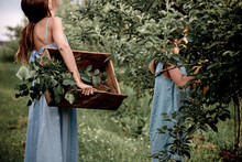 Mother And Daughter Picking Apples From Tree At Garden