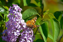 Painted Lady Butterfly On Lila...