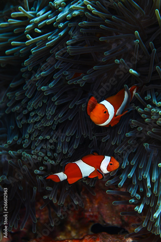 Valokuvatapetti Clownfishes in anamone