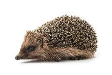 Hedgehog Isolated On White Bac...