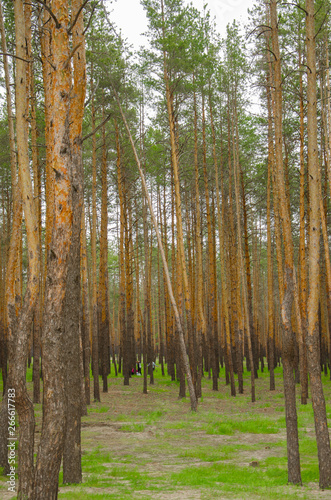 Pine dense forest with green glade. Tall pines, spruce. Forest on the lake for recreation, picnic, family entertainment