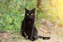 Black Cat With Yellow Eyes And Attentive Look Sits Outdoor In Nature In Sunlight. Сat Is Looking In The Camera