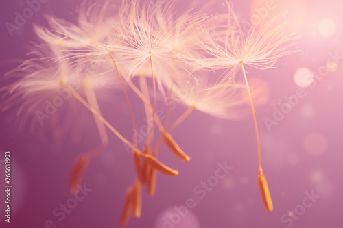 Foto auf Leinwand Lowenzahn Flying seeds of dandelion on pink background. Abstraction.