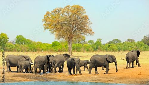 Large Herd of Elephants walking away from a waterhole into the bush, Hwange Nati Canvas Print