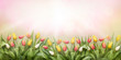 canvas print picture - A pink meadow of tulip flowers on a sunny spring, summers day.