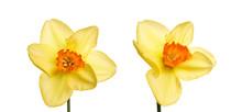A Collection Of Yellow Daffodi...