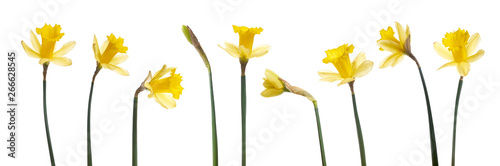 Foto op Plexiglas Narcis A collection of yellow daffodils flowers isolated against a white background.