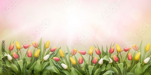 A pink meadow of tulip flowers on a sunny spring, summers day.