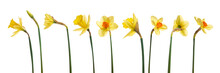 A Collection Of Yellow Daffodils Flowers Isolated Against A White Background.