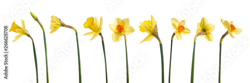 Photographie  A collection of yellow daffodils flowers isolated against a white background