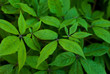 Background Green Marijuana Leaves of Cannabis