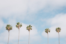 Palm Trees In La Jolla Shores,...