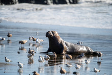 Northern Elephant Seal (Mirounga Angustirostris), Point Reyes National Seashore, Marin, California