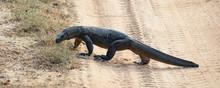 Land Monitor Lizard (Varanus B...
