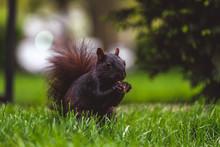 Black Squirrel Eating Nut