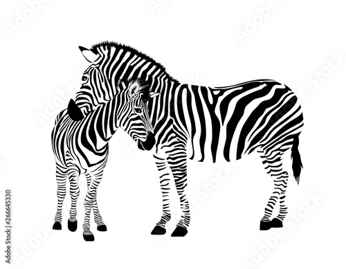Poster Zebra Zebra family. Wild animal texture. Striped black and white. Vector illustration isolated on white background.