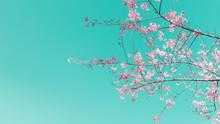 Wild Himalayan Cherry On Sky Background.