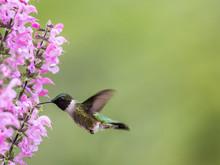 Female Ruby-throated Hummingbi...