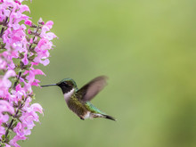 Female Ruby-throated Hummingbird, Archilochus Colubris, Feeds On Meadow Sage (Salvia Pretensis), A Pink Perennial Flower In Spring