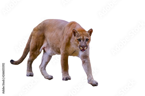 Puma, cougar portrait on White background