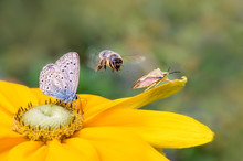 Insect Biodiversity On A Flower, A Butterfly Common Blue (Polyommatus Icarus), A Bee (Anthophila) In Flight And A Shield Bug (Carpocoris Fuscispinus) On A Rudbeckia