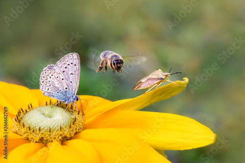 Foto auf Leinwand Bienen Insect biodiversity on a flower, a butterfly common blue (Polyommatus icarus), a bee (Anthophila) in flight and a shield bug (Carpocoris fuscispinus) on a Rudbeckia
