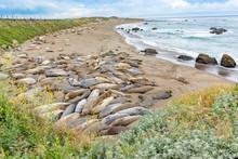 Seals Sleeping At The Beach Near San Simeon