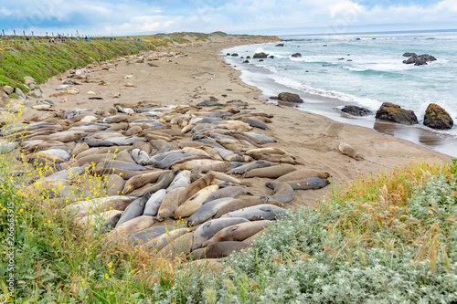 Fotografía seals sleeping at the beach near San Simeon