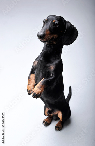 Fototapeta Studio shot of an adorable Dachshund standing on hind legs