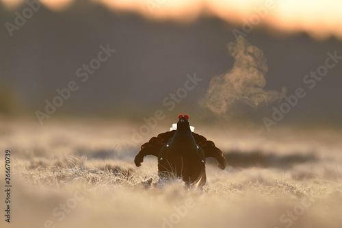 Photo  Black grouse at sunrise with breath fume