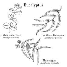 Silver Dollar Tree, Manna Gum And Southern Blue-gum Eucalyptus Set. Hand Drawn Botanical Vector Illustration