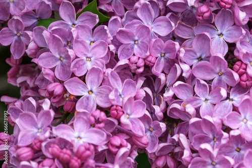 Foto op Canvas Hydrangea Lilac blooms close-up