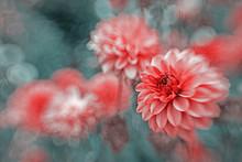 Violet Dahlia Picture Backdrop Blurred Background