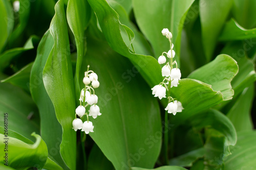 In de dag Lelietje van dalen Lily of the valley bloom. May lily flowers. Spring flowers blossom.