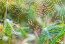 Wasp Spider In The Center Of Its Web