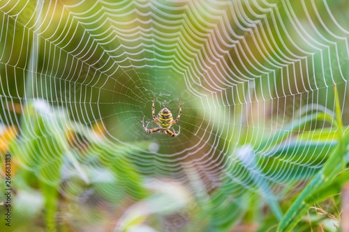 Wasp spider in the center of its web Wallpaper Mural