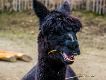 Funny Black Alpaca Chewing On Some Hay, Alpaca Face In Closeup, Bare Nose Syndrome, Animal Alopecia Causing Hair Loss On The Nose