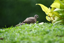 Gray-haired Turtle Bird On The...