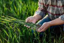 Close Up Of Senior Farmer Hands Examining Wheat Crop In His Hands.