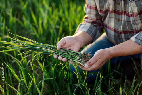 Photo Close up of senior farmer hands examining wheat crop in his hands