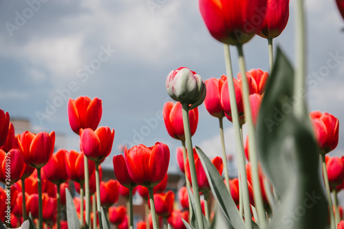 Beautiful Botanical background of spring tulips in bright colors growing outdoor Canvas Print