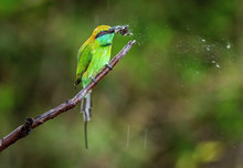 Bee-eater Eating Butterfly On ...