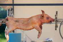 Pig Is Being Grilled Slowly On Spit In Traditional Way, Cooked With Charcoal, Fatty Roasted Meat