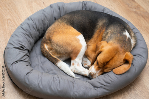 Beagle puppy sleeping at home