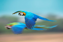 Blue And Gold Macaw Flying .Beautiful Bird In The Wold