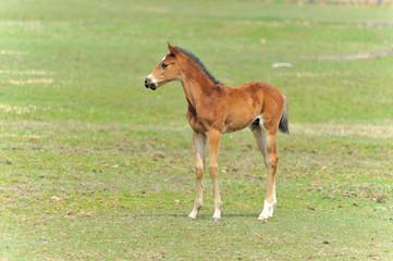 サラブレッド 子馬
