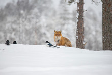 Red Fox In The Snow, Vulpes