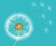 White Dandelion Blown By Wind Blue Background.