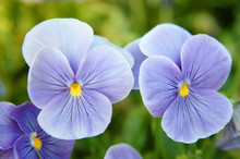 Fleurs Bleues De Pensée